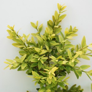 Buxus Sempevirens
