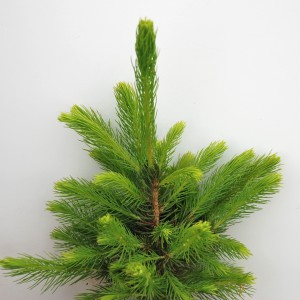 Picea Abies2