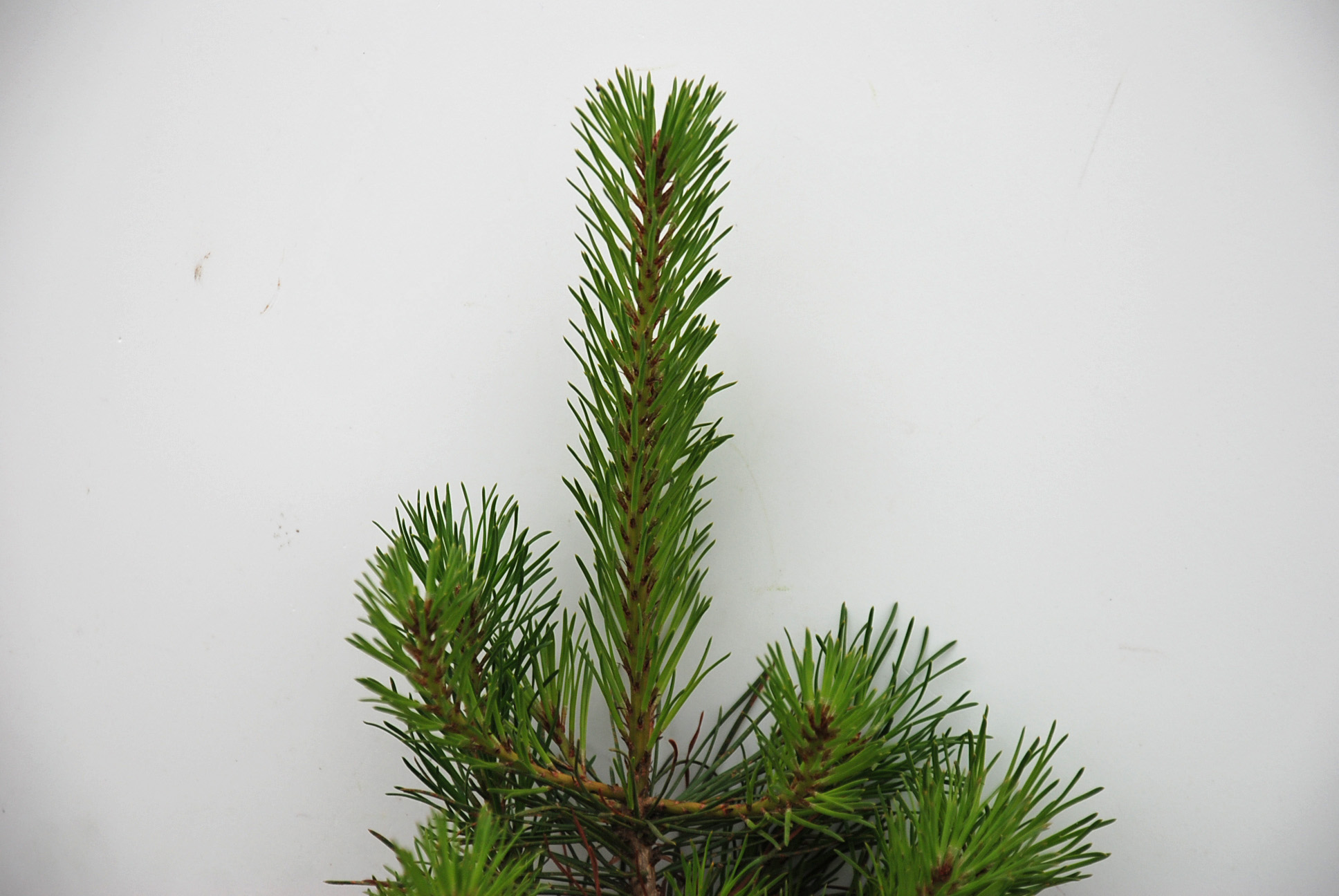 Christmas Trees Wholesale Prices