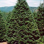 abies-grandis tree