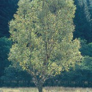 downy-birch tree