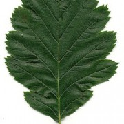 sor int leaf